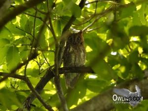 Oriental Scops Owl 5/2014