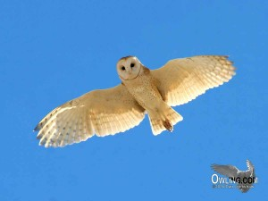Barn Owl - Carrizo, CA 11/2006