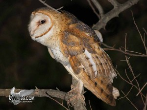 Barn Owl - Trabucco Canyon, CA 3/2008