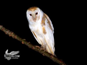 Barn Owl - Jamaica 12/2012