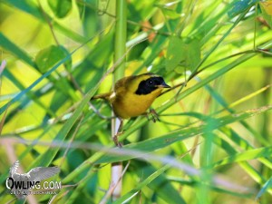 Belding's Yellowthroat