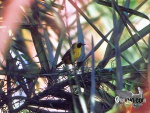 Belding's Yellowthroat