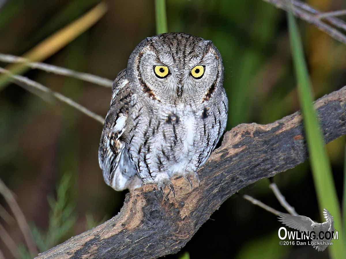 Western Screech-Owl - Owling.com