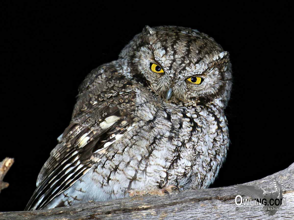 whiskered-screech-owl5 Sat Map Of Mexico on sat romania, sat guatemala, sat south america, sat hong kong,