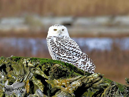 Snowy Owl in Boundary Bay Canada