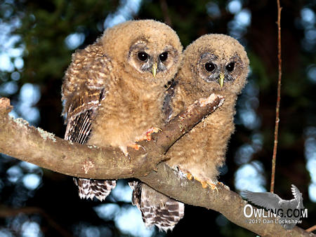 Owling in the daylight for Juvenile Northern Spotted Owl