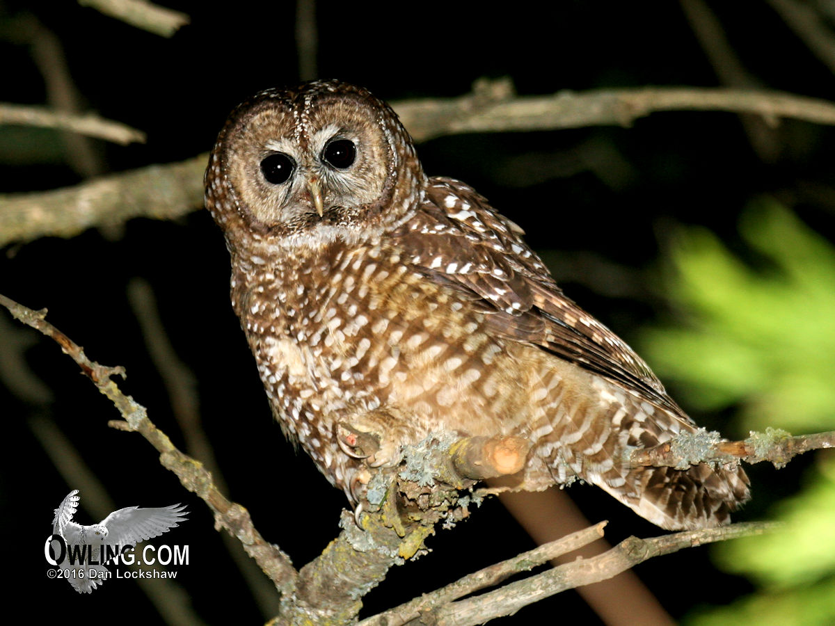 spotted owl biology owling com