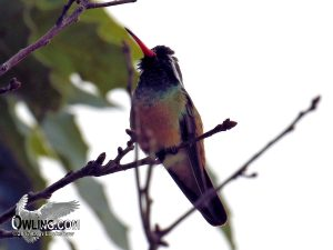 Xantus's Hummingbird in Baja California